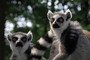 BSL32015_Lemur